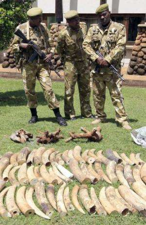 Kenya Wildlife Service (KWS) warders stand in front of tusks recovered from poachers, in Nairobi, on January 16, 2013