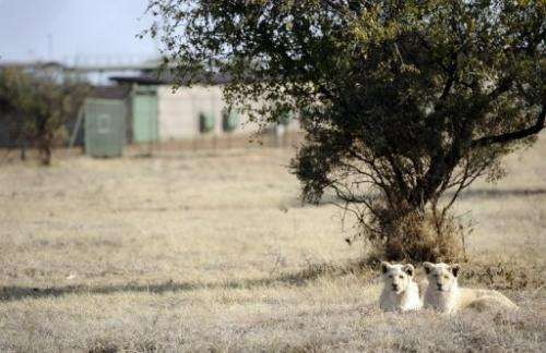 Lions bred for commercial use pictured on August 3, 2012 at Bona Bona Game Lodge in Wolmaransstad