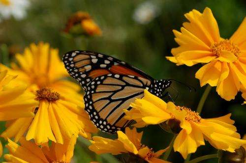 Monarch butterflies migration path tracked by generations for first time