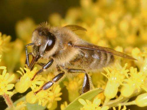 New research provides evolutionary snapshot of surprisingly altruistic bees