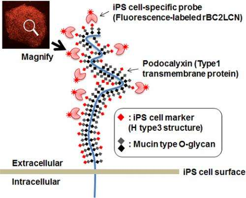Novel probe for live human iPS cell imaging