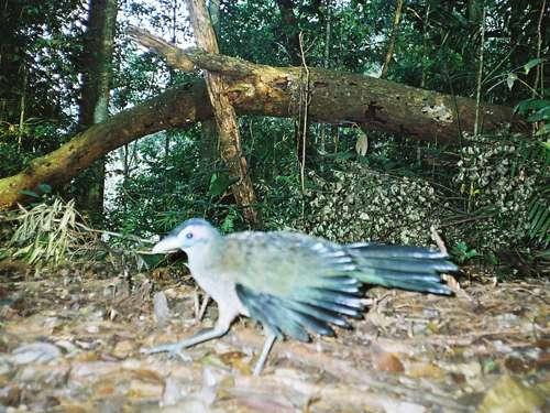 Rare pheasant snapped in Sumatra