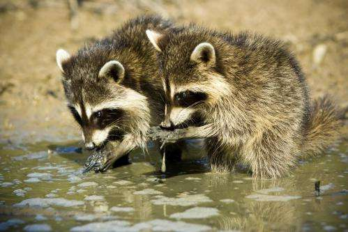 Studying the social side of carnivores