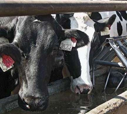 Study suggests dairy herd water quality linked to milk production