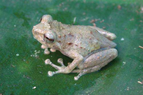 Three new species of tiny frogs from the remarkable region of Papua New Guinea