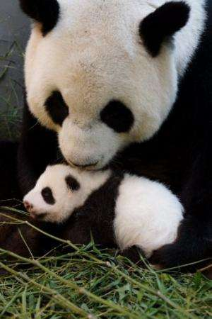 Undated photograph released by Taipei City Zoo on August 27, 2013 shows Yuan Yuan holding her baby at Taipei City Zoo