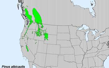 Whitebark pine trees: Is their future at risk?