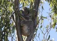 The koala: Living life on the edge