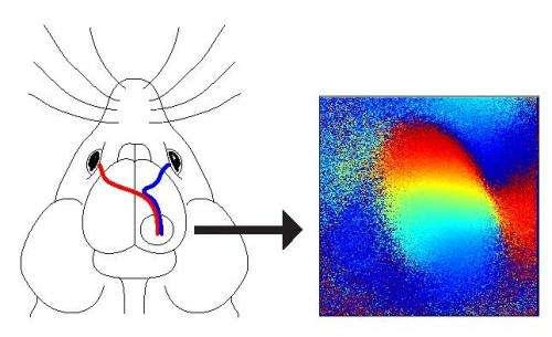 Researchers find essential brain circuit in visual development