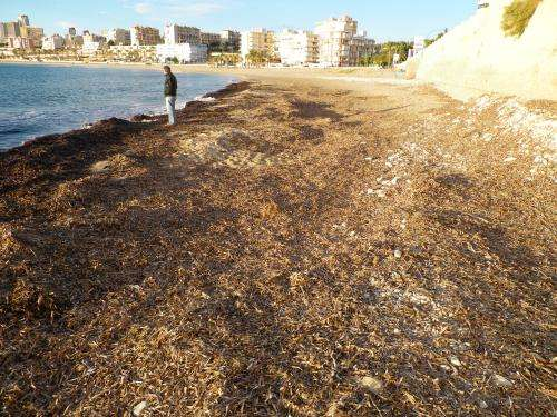 Researchers develop system to clean seaweed from beaches