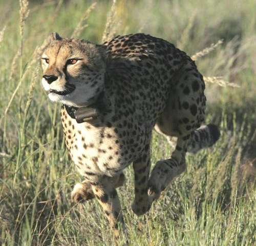 Study reveals new insight into how Cheetahs catch their prey