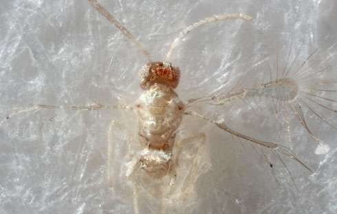 Tinkerbella nana, a new species of fairyfly