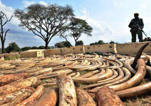 A Kenya Wildlife Services ranger stands guard over an ivory haul seized overnight as it transited through Jomo Kenyatta Airport