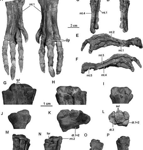 First detailed postcranial anatomy supporting jeholosaurus a basal ornithopod