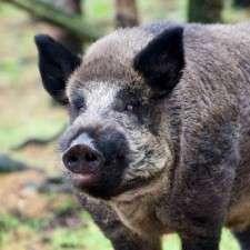 Genetic study proves Israel's wild boars originated in Europe