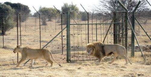 Lions bred for commercial use pictured August 3, 2012 at Bona Bona Game Lodge in Wolmaransstad, southeast of Johannesburg