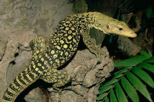 Modern dragons in danger: The relentless exploitation of Asian giant lizards revealed