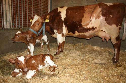 Prevalence of colds and pneumonia in cows can be controlled