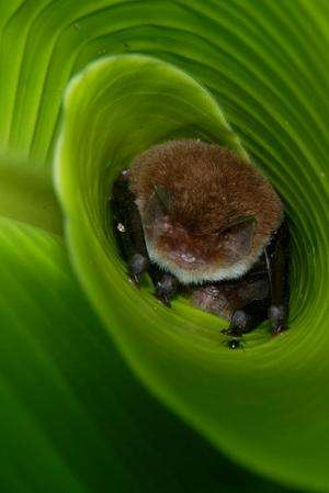 Researchers find bats use curled leaves for sound amplification