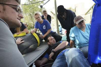 Researchers develop technique to test manatees for heart disease