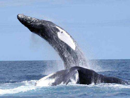 Researchers track singing humpback whales on a Northwest Atlantic feeding ground