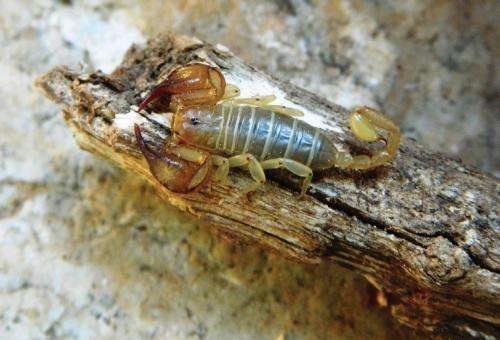 A new scorpion species from ancient Lycia