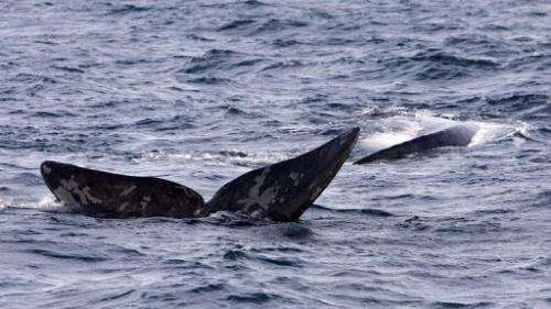 File photo of a Southern Right Whale displaying its fluke off the southern coast of Argentina