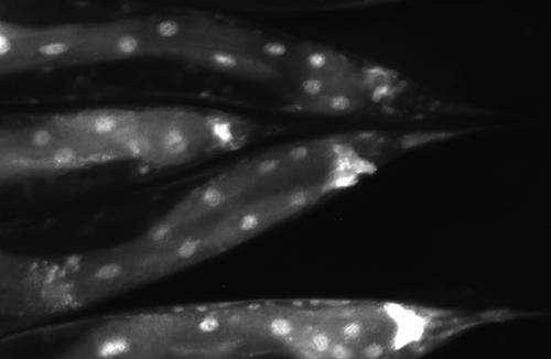 Sanford-Burnham scientists identify key protein that modulates organismal aging
