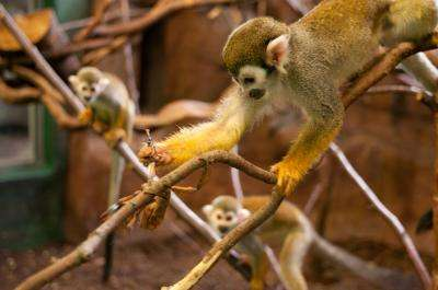 Social networks shape monkey 'culture' too