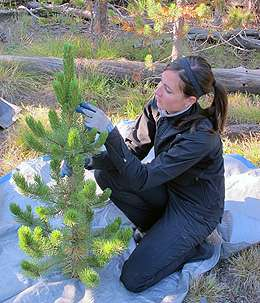 Researchers study beetle-killed trees as a sustainable biofuel