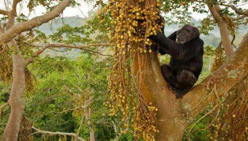 Researchers study chimpanzee community isotopes to learn about ancient food sources (w/ Video)