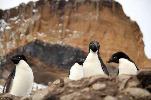 Climate change winners: Adélie penguin population expands as ice fields recede