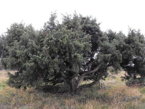 Protecting juniper from a berry uncertain future