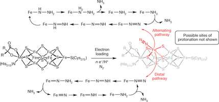Researchers develop first iron-based catalyst that can reduce dinitrogen to ammonia in a solution