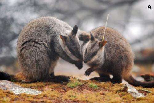 Captive-bred wallabies may carry antibiotic resistant bacteria into wild populations