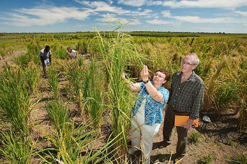 Project aims to biofortify rice for improved nutritional value