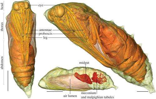 Researchers use CT scanners to watch living pupae develop into butterflies inside chrysalis