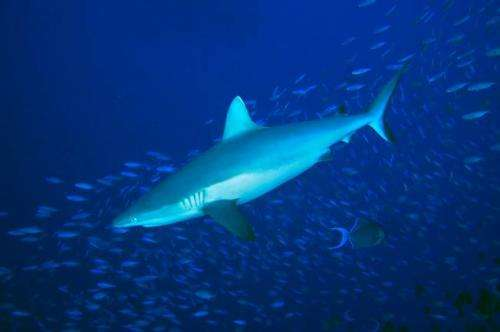 Study suggests overfishing of sharks is harming coral reefs