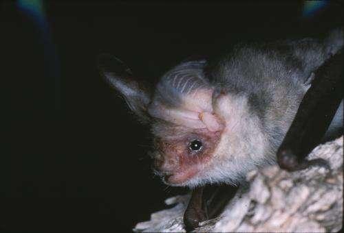 Australian endangered species: Lord Howe Long-earedBat