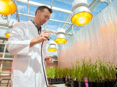 Scientists unveil new way to grow quality wheat faster