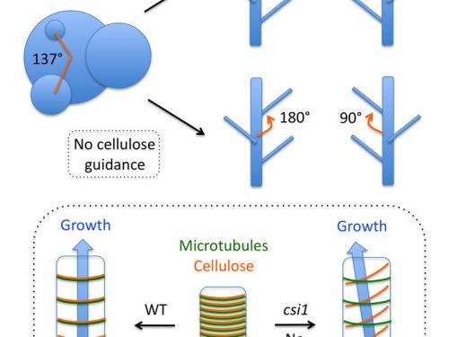 Researchers find without microtubule guidance, cellulose causes changes in organ patterns during growth