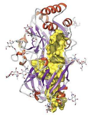 Researchers discover a new protein fold with a transport tunnel
