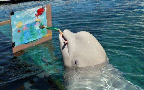 A Beluga whale paints a picture at the Hakkeijima Sea Paradise aquarium in Yokohama, on September 17, 2013