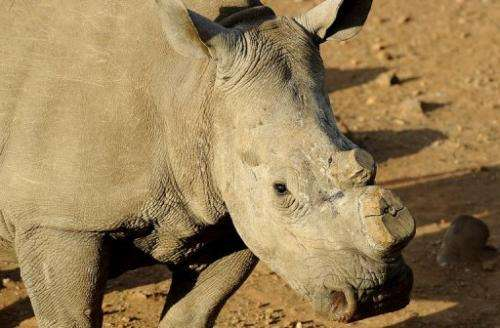 A black dehorned rhinoceros walks on August 3, 2012 at the Bona Bona Game Reseve