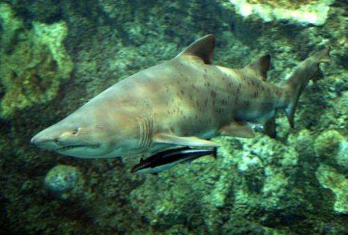 A bull shark swimming in a tank in Brest, France on September 3, 2003