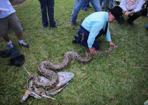 A Burmese python is shown to the media at the start of the 2013 Python Challenge on January 12, 2013 in Davie, Florida