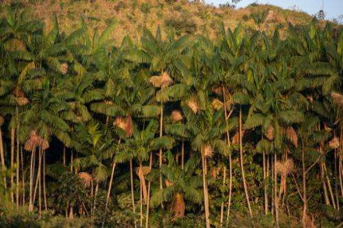Acai trees are seen along the Xingu river in northern Brazil, on August 7, 2013