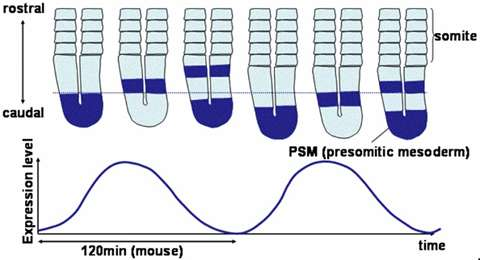 Accelerating the tempo of the segmentation clock by reducing the number of introns in the Hes7 gene