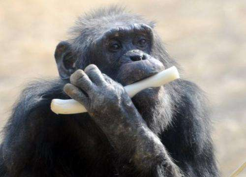 A chimpanzee munches on a leek at Tokyo's Tama Zoo, on February 9, 2013