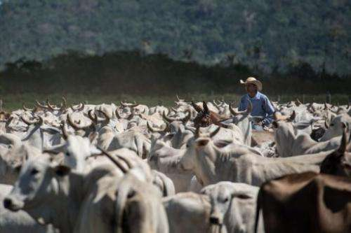 A cowboy drives cattle at a farm in Sao Felix do Xingu, Para state, northern Brazil, on August 8, 2013